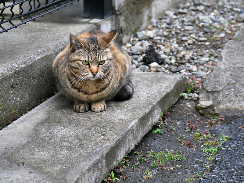玄関ステップのキジトラ猫3