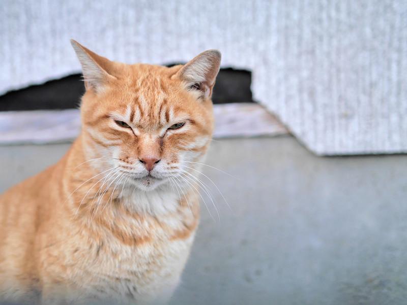 壁の前の茶トラ猫の表情1
