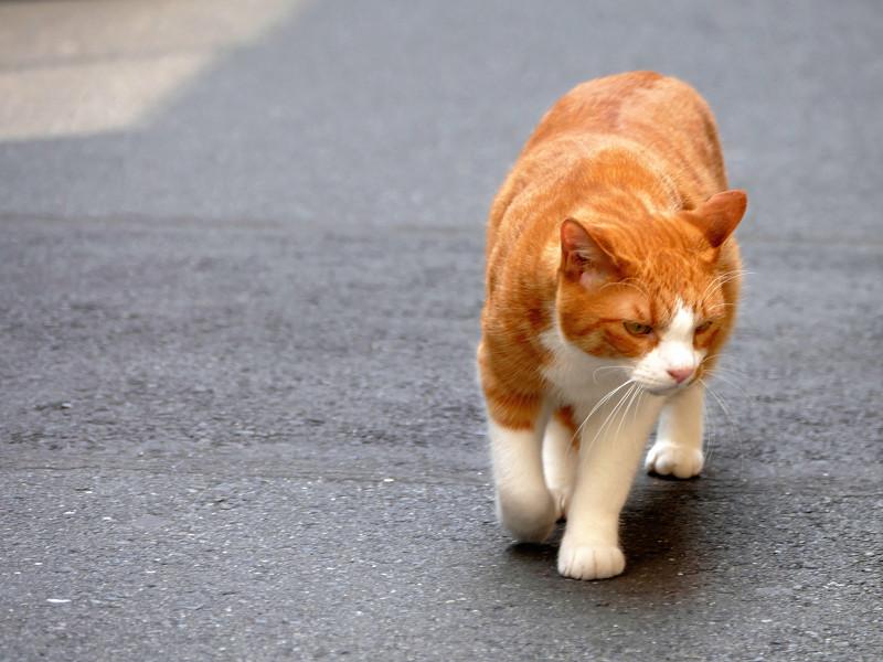 路地を歩いてくる茶白猫1