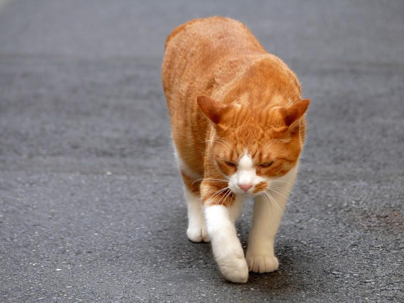 路地を歩いてくる茶白猫2