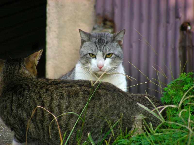 睨み合った猫1
