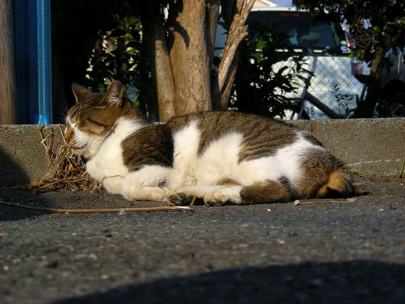 縁石で寝るキジ白猫1