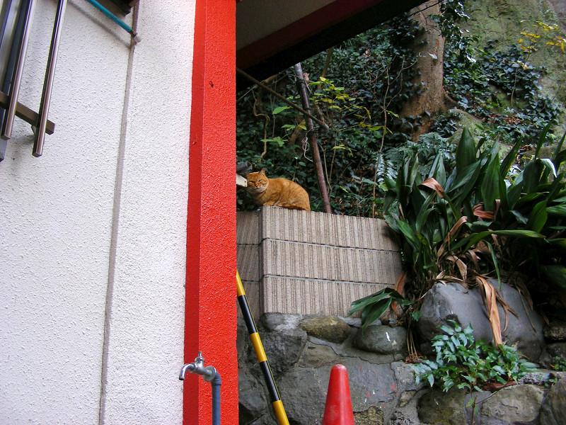 デカイ顔の茶トラ猫1