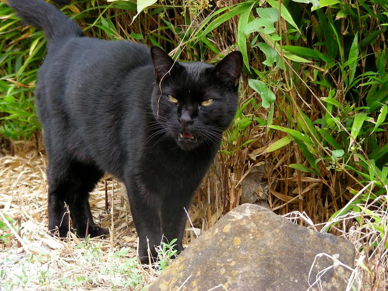 笹薮の黒猫1
