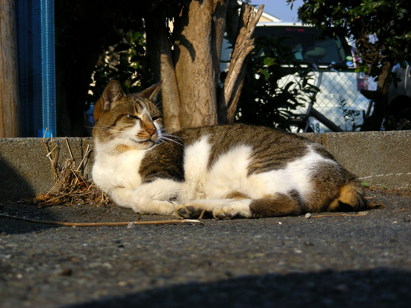 縁石で寝るキジ白猫2