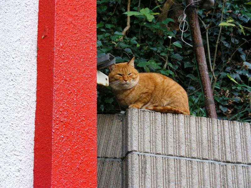 デカイ顔の茶トラ猫2
