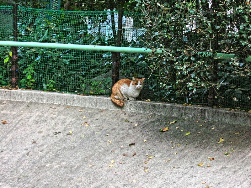 公園の端の茶白猫2