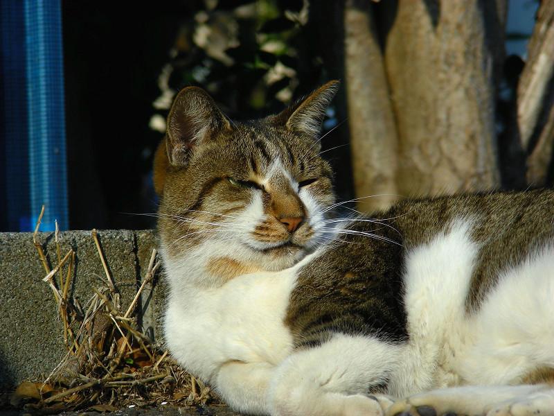 縁石で寝るキジ白猫3