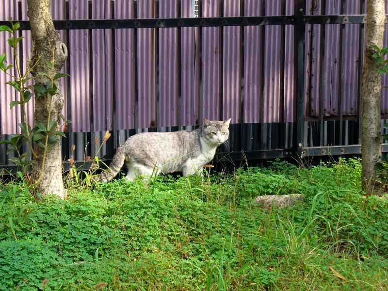 睨み合った猫3