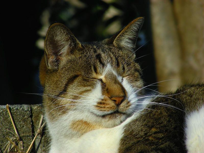 縁石で寝るキジ白猫4