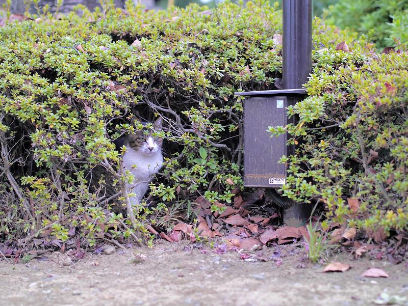 茂みから見ているキジ白猫