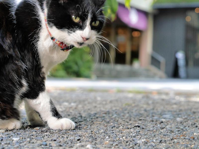 毛づくろいベロ出しの黒白猫1