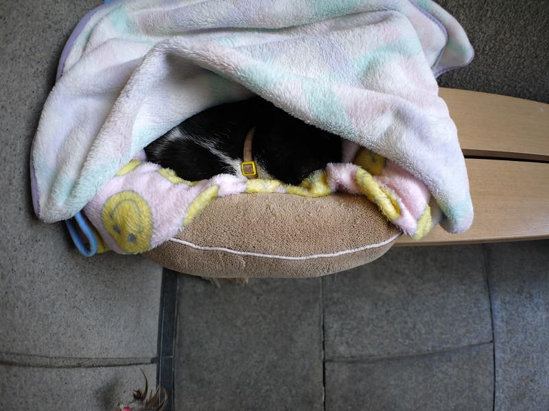 簡易ハウスで寝ている黒白猫1