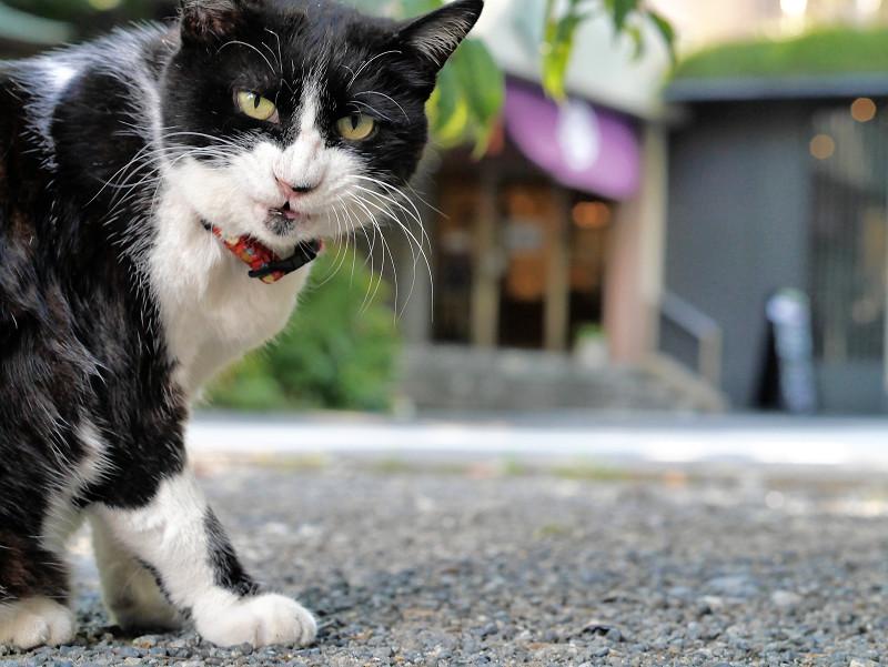 毛づくろいベロ出しの黒白猫2