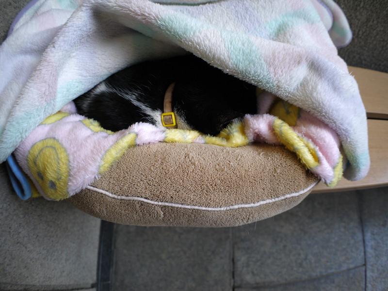 簡易ハウスで寝ている黒白猫2