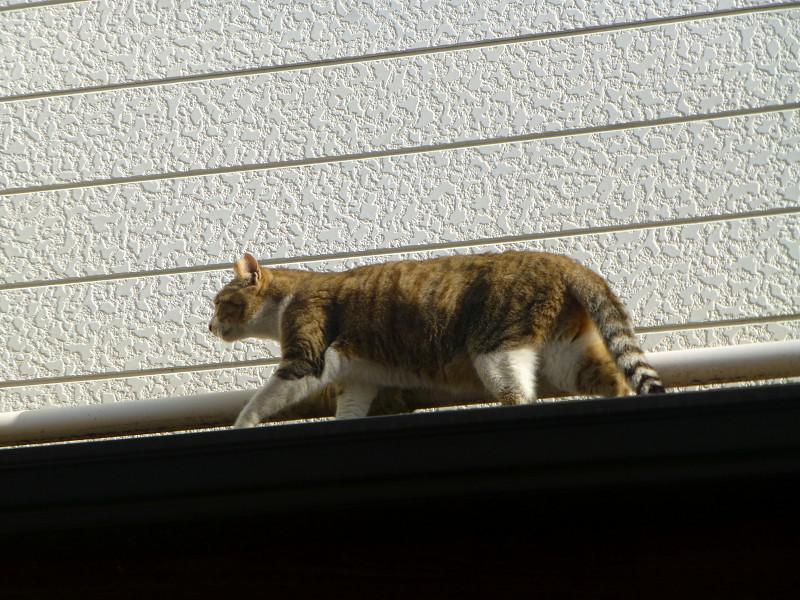 庇を歩くキジ白猫1