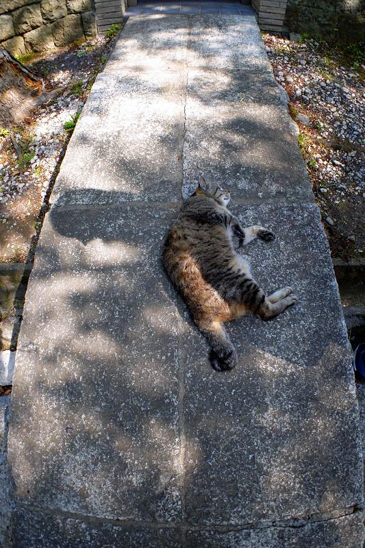 石橋のキジトラ猫1