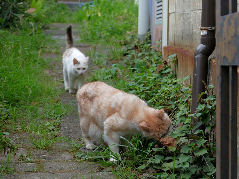 草を食う猫と尻尾が立ってる猫1