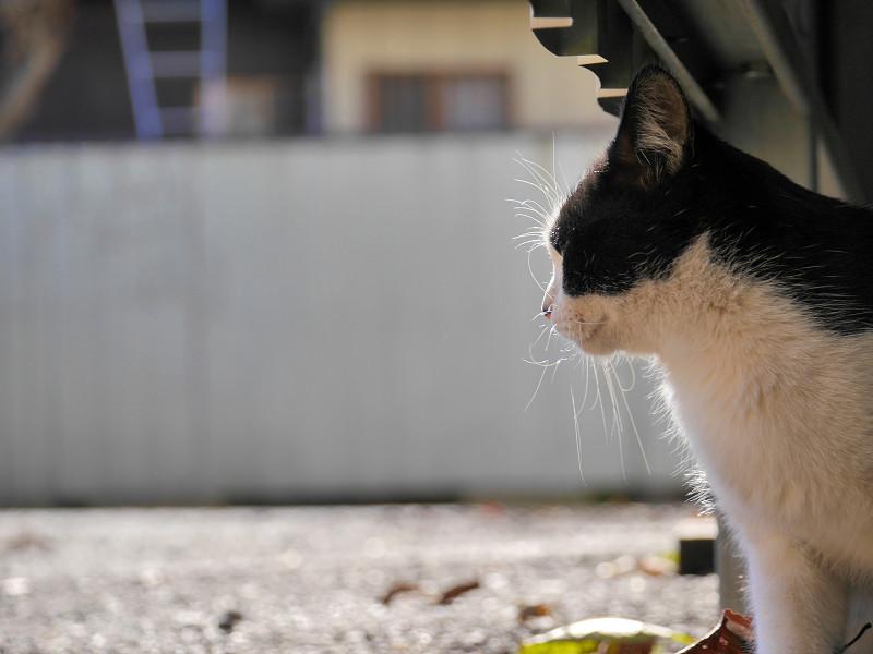 外を見ていた黒白猫1