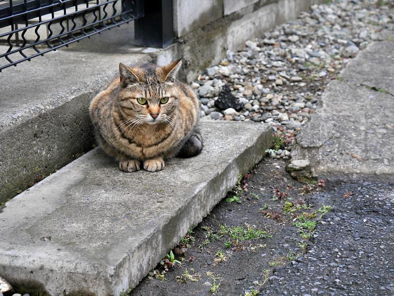 ジーッと見ているキジトラの猫1