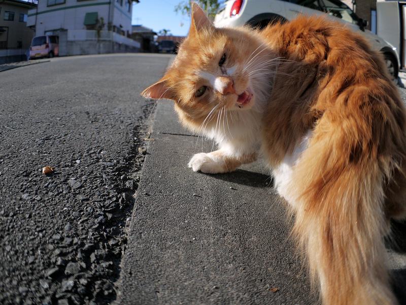 L字型側溝と毛長の茶白猫2