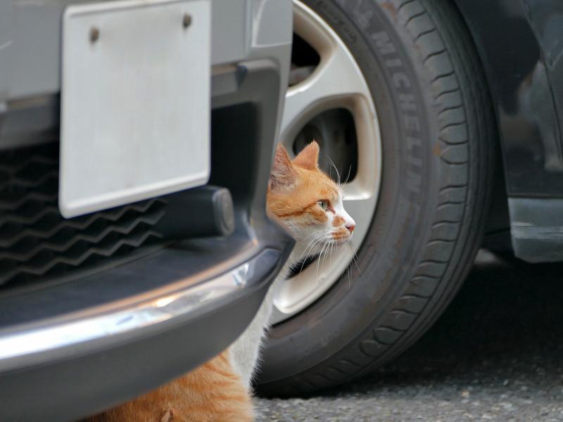 車の陰で鳴いている茶白猫2