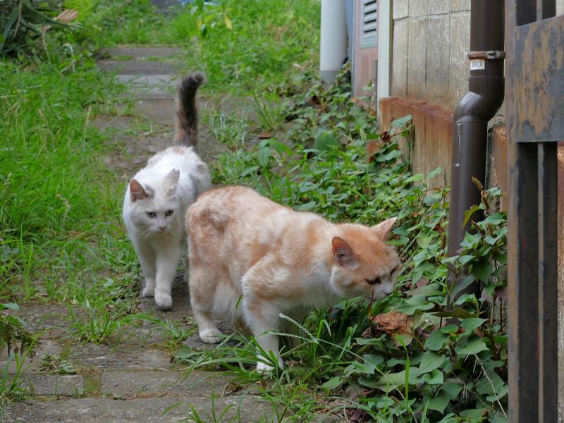 草を食う猫と尻尾が立ってる猫2
