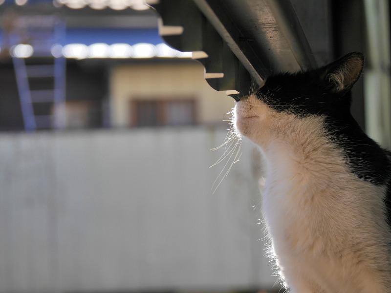 外を見ていた黒白猫2