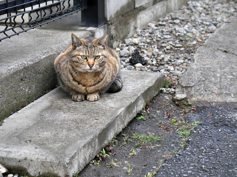 ジーッと見ているキジトラの猫2