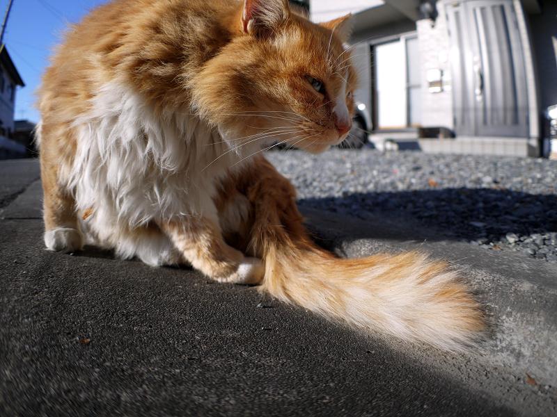 L字型側溝と毛長の茶白猫3