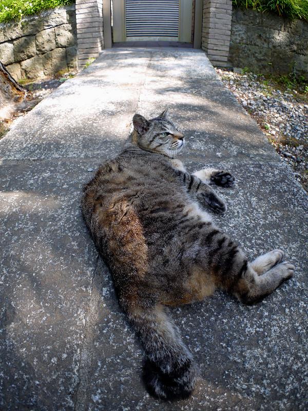 石橋のキジトラ猫3