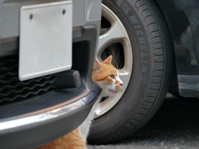 車の陰で鳴いている茶白猫3