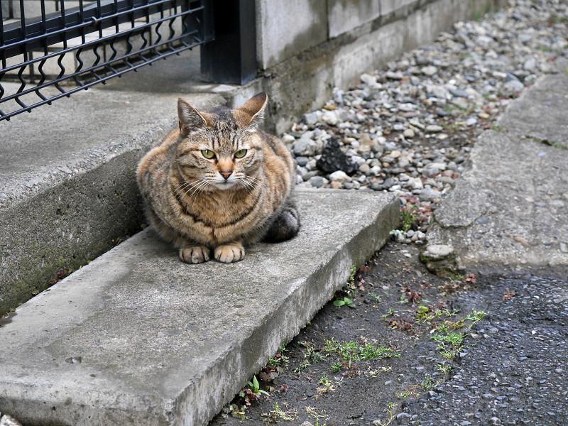 ジーッと見ているキジトラの猫3