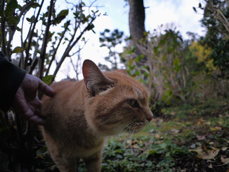 無表情で触られる茶トラ猫1