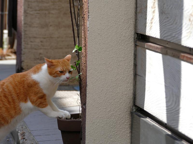 植木鉢と茶白猫1