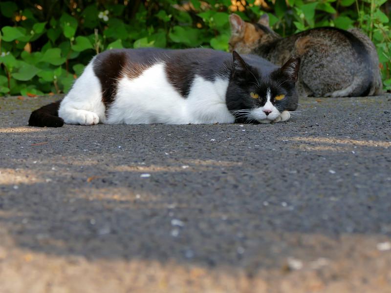 腹ばったままの黒白猫1
