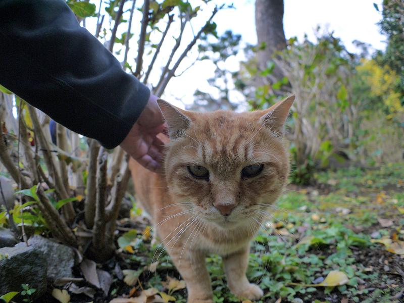 無表情で触られる茶トラ猫2