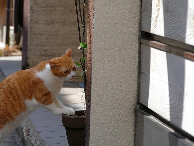 植木鉢と茶白猫2