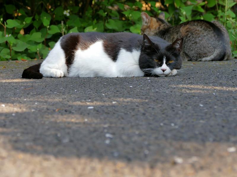 腹ばったままの黒白猫2