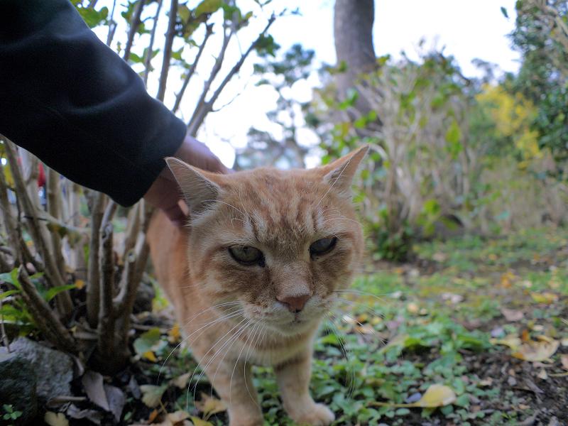 無表情で触られる茶トラ猫3