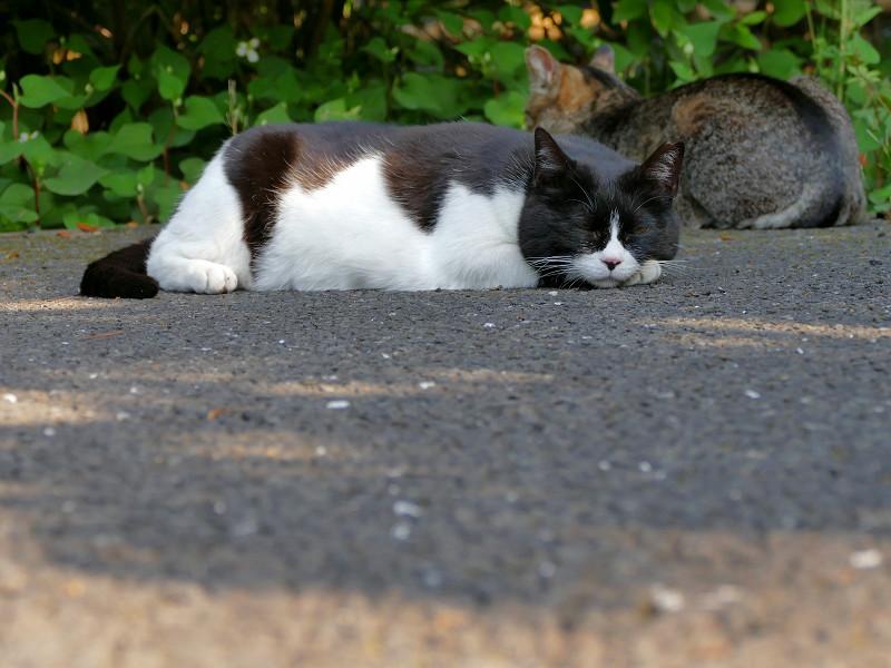 腹ばったままの黒白猫3