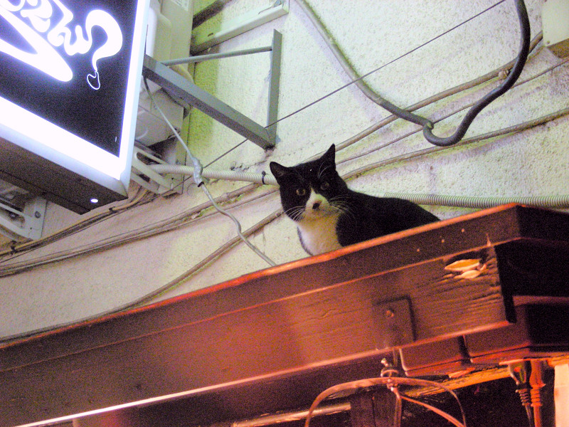 ネオンと黒白猫