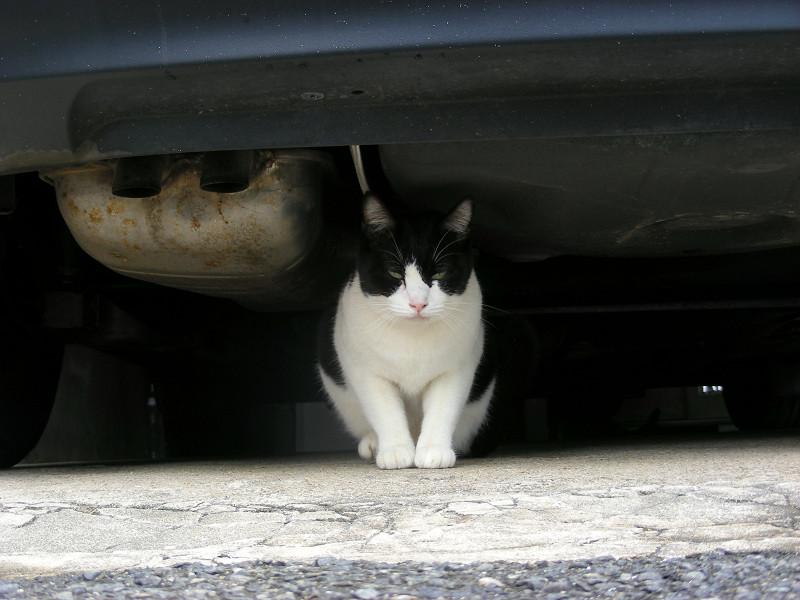 車の下に座ってる黒白猫1