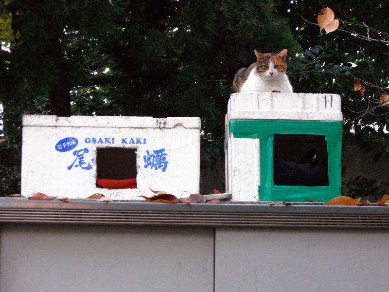 物置の上ハウスと三毛猫1