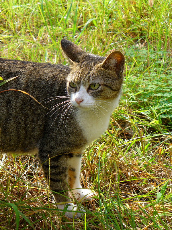 草むらのキジ白猫1