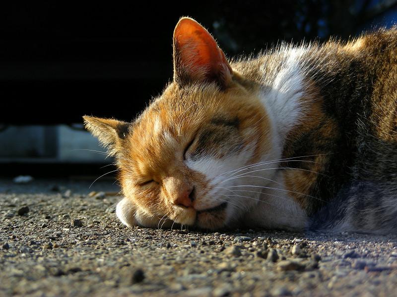 腕枕してる三毛猫2