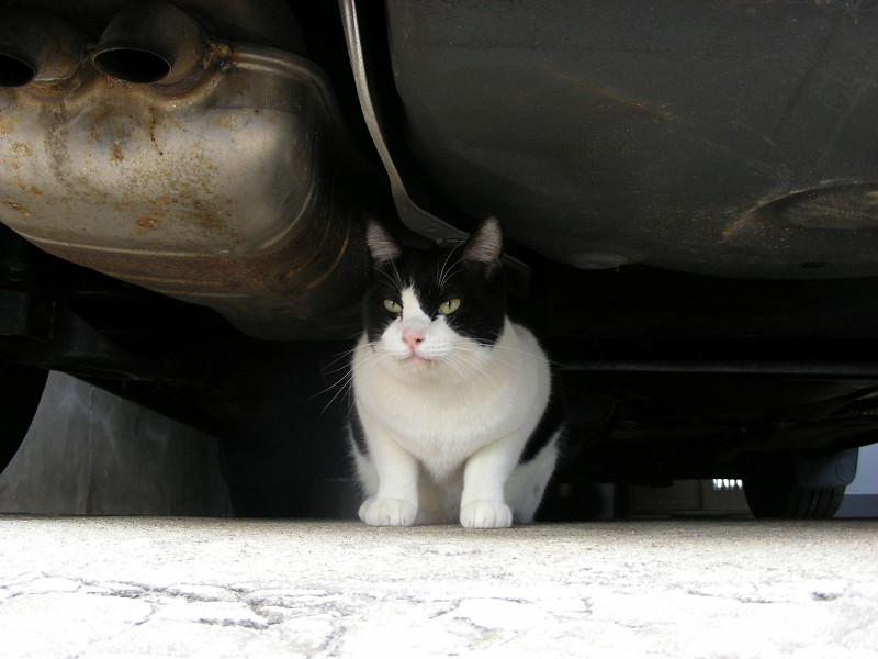 車の下に座ってる黒白猫2