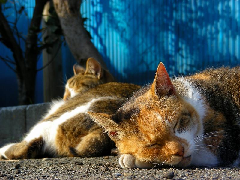 腕枕してる三毛猫3