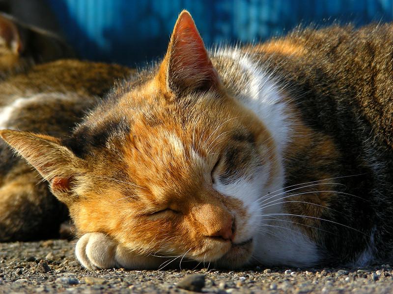 腕枕してる三毛猫4