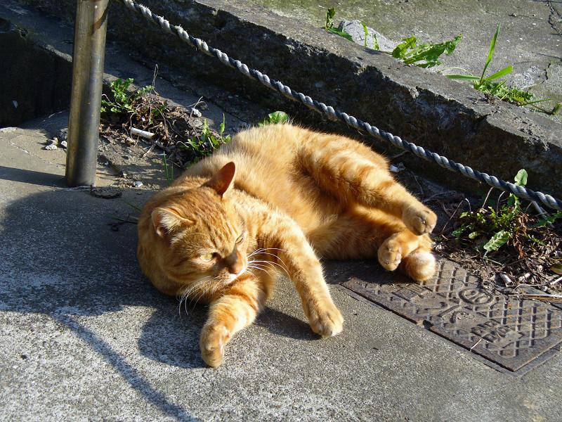 ロープ下で転がる茶トラ猫4